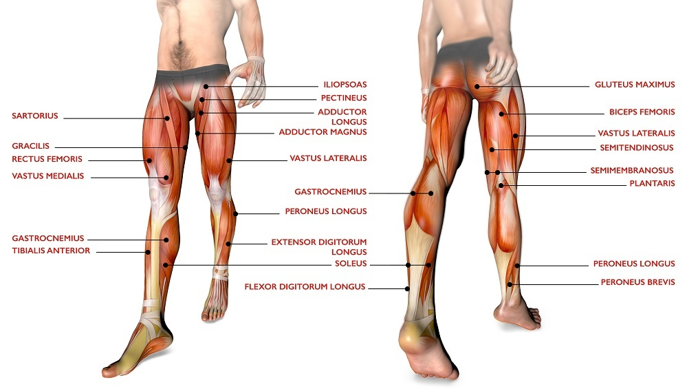muscles of the legs